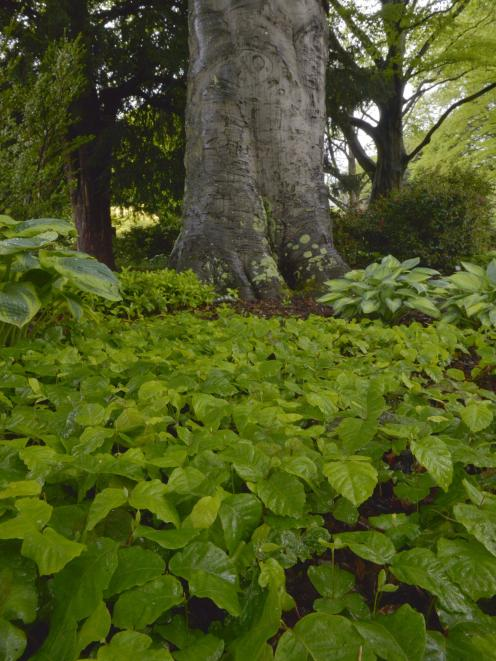 Fruit from the Fagus sylvatica is germinating en masse. Photo: Gerard O'Brien.