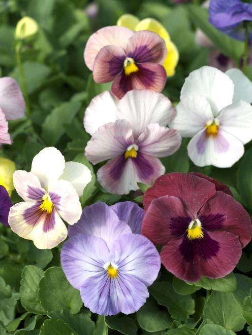 Violas and pansies may be looking straggly and producing smaller flowers. Photo: supplied.