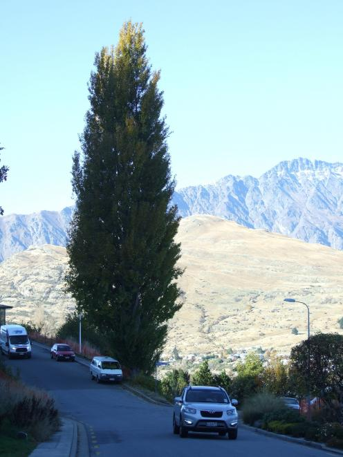 The two poplar trees at the corner of Panorama Tce and Maxwell Pl on Queenstown Hill. Photo: Guy...
