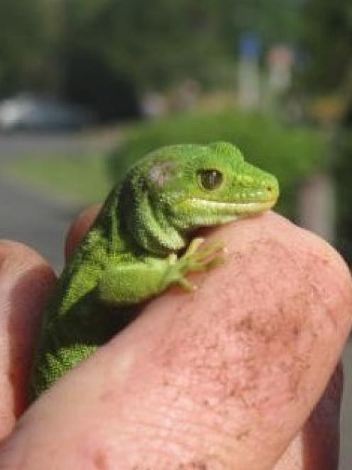 This Marlborough green gecko, known as Graham, was taken from the Fiordland National Park Visitor...