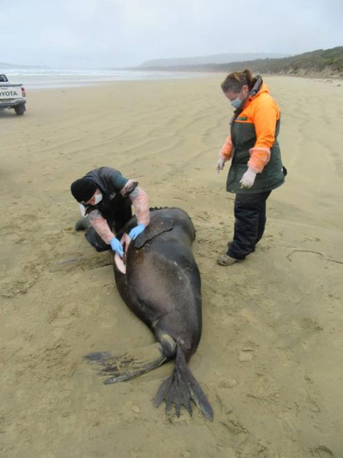 Someone shot this sea lion on a Southland beach on Sunday. Photo / Department of Conservation