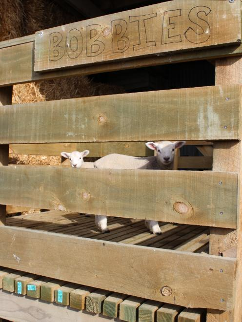 With the Eade family's bobby calf loading pen getting little use, the family's two pet lambs enjoyed a short stay over last week. Photo: Nicole Sharp