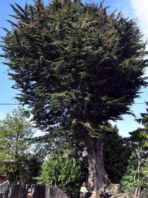 An arborist prepares to fell the tree.