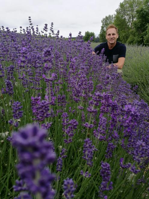 Rob Martin, of Limestone Valley Estate, checks on one of his Pacific blue lavender crops near Cave. Photo: Alexia Johnston