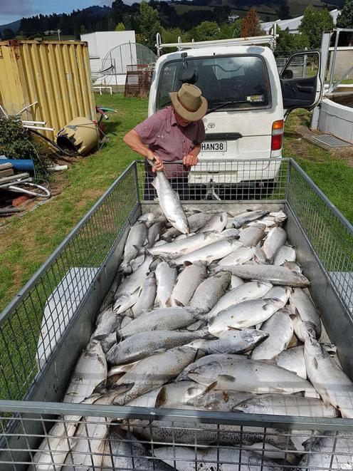 An act of vandalism resulted in the death of about 200 salmon at the Dunedin Community Salmon...