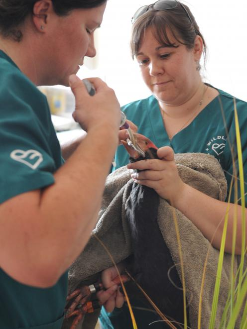 Vet nurse Angelina Martelli holds Widget the takahe while wildlife vet Lisa Argilla pries open the bird's mouth so it can be given supplements and painkillers at the Wildlife Hospital in Dunedin yesterday. Photo: Christine O'Connor