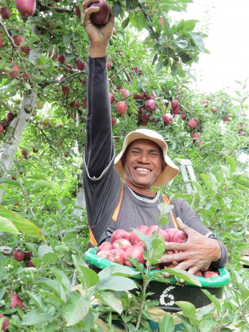 Robson Bihu picks red delicious apples from a block in the Remarkable Orchard at Roxburgh East. Photo: Yvonne O'Hara