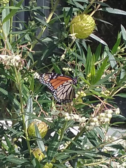 A monarch butterfly settles on Ann Charlotte's swan plant in her garden at Waikouaiti. PHOTO: ANN...
