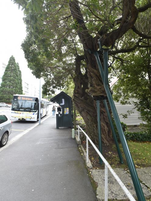 It has been pruned so mercilessly to avoid touching buses, it has almost been sliced in two.