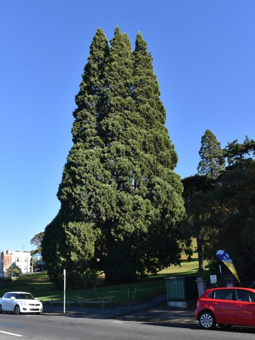 A trio of impressive big trees in the Arthur St Reserve, near Otago Boys High School, with...