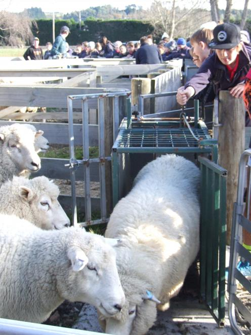 Campbell Andrew (11) tries his hand at drafting sheep at Fraser Farm.