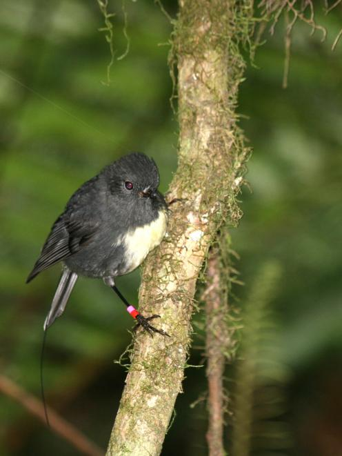 The South Island robin, one of the first translocations to Orokonui. Photo: Alister Robinson