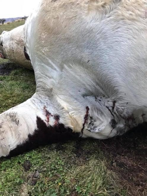 The bull had at least three bullet holes behind its front leg. Photo: Supplied