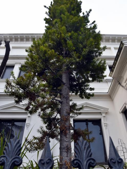 A thin young kauri outside Otago Museum. Photo: Peter McIntosh
