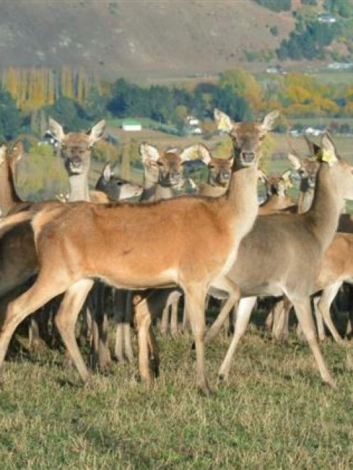 New Zealand's deer industry has been praised for being innovative and progressive. Photo by...