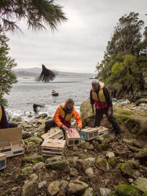 Fiordland Conservation Trust members Murray Willans (left) and Heather Barnes, with Ron Bull, from Oraka Aparima Runaka, release saddlebacks (tieke) on Five Fingers Peninsula. Photo: Em Oyston, DOC