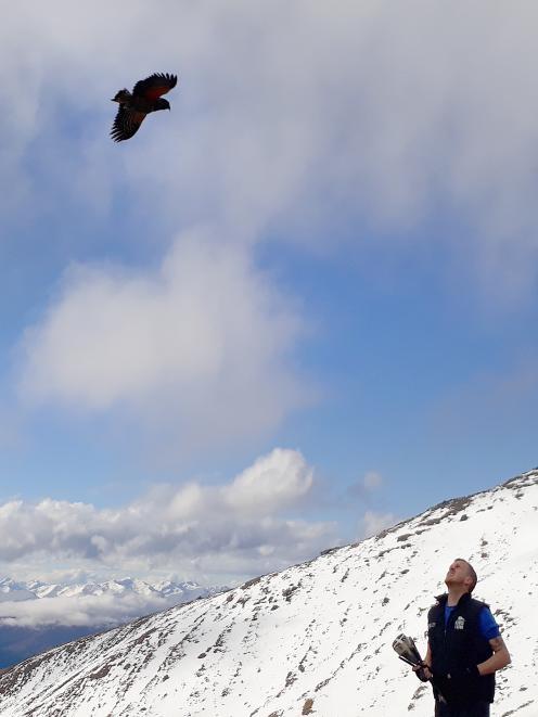 A kea flies down to check out kea researcher Corey Mosen, who is holding a net gun. Photo: Kea...