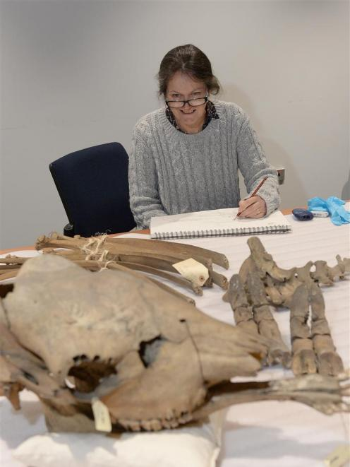 Otago Polytechnic Dunedin School of Art head of sculpture Michele Beevors sketches giraffe bones at the Otago Museum. Photo: Linda Robertson