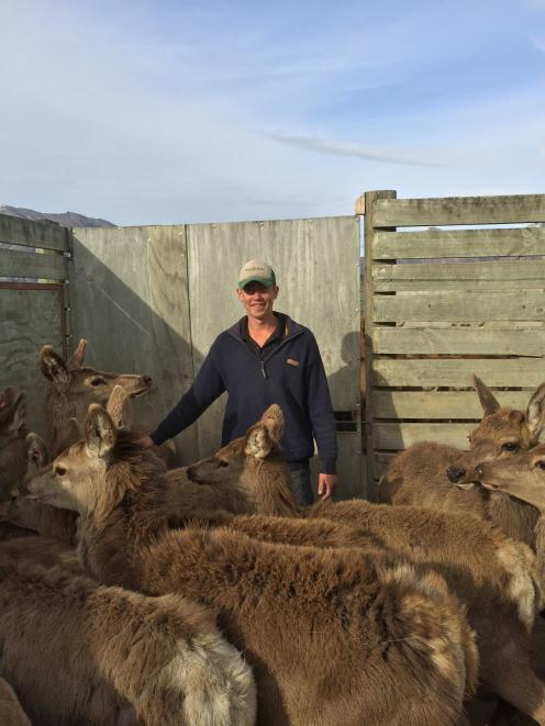 Lachie Mee works with deer at Coleridge Downs. Photo: Supplied