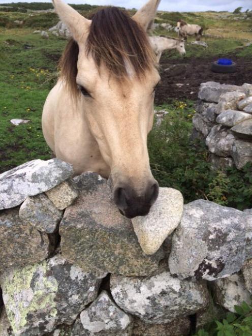 Connemara小马在一块围墙由干砌墙围住。