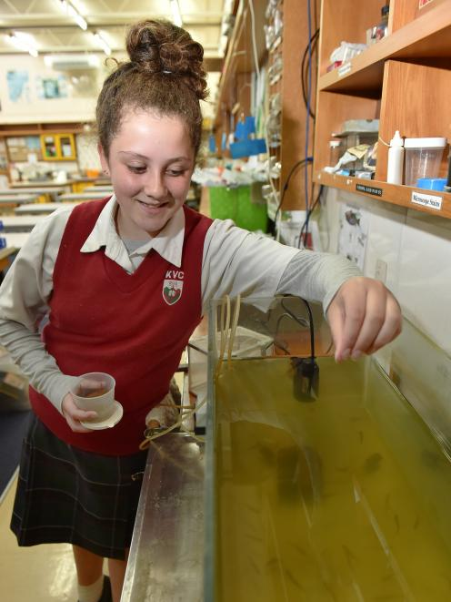 Kaikorai Valley College pupil Samantha Chisholm (14) feeds the rainbow trout in one of the school's science labs. Photo: Gregor Richardson