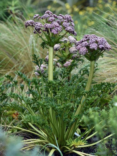 Anisotome latifolia. Photo: Peter McIntosh