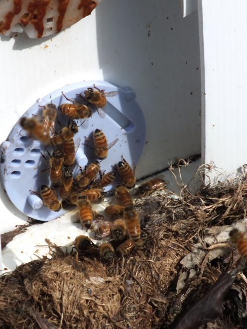 Bees head into a hive. Photos: Gillian Vine
