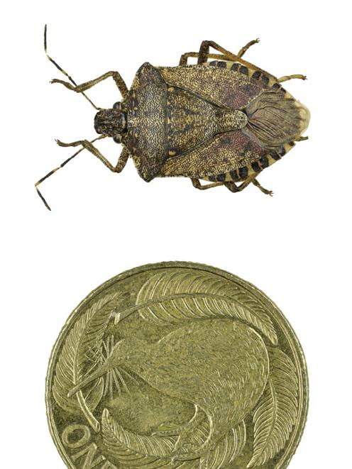 The brown marmorated stink bug.