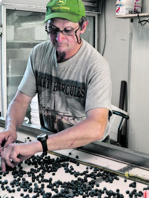 Phil McLennan sorting blueberries on his Ikamatua farm. Photo: Greymouth Star