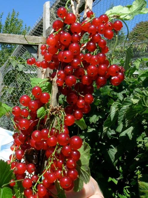 Redcurrants make excellent jelly to serve with meat.