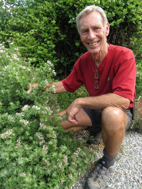 Environmental consultant Dr Barrie Wills, of Alexandra, spent many years trialling dryland plants like Dorycnium to determine its suitability for use on Central Otago farms. He has some plants in his driveway. Photo: Yvonne O'Hara