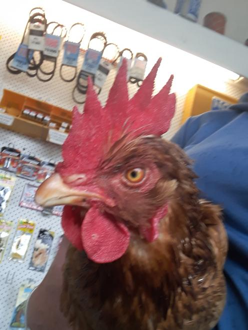Clucky, after being caught at the petrol station last weekend.PHOTOS: PAM JONES/SUPPLIED