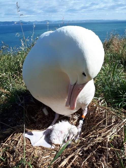 One of the three new albatross chicks at Taiaroa Head is nurtured by its proud parent. PHOTO:...