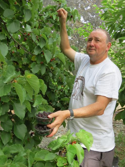 Moorpark and Mulberry Orchard owner Mike Darling picks mulberries from one of the four trees grown on the family's orchard on Luggate-Cromwell Rd. Mulberries are popular with orchard customers. Photos: Yvonne O'Hara