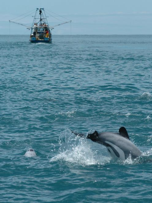 A Hector's dolphin leaps out of the water near a fishing trawler. Photo: Megan McPherson
