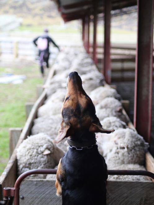 """Photographer and Strath Taieri Young Farmers Club member Georgie Hendrie, of Hyde, took this photograph of her partner Tom Serle and one of their dogs, Bindy. The photo won the """"You and your working dog'' section of the Royal Canin Photography competition"""
