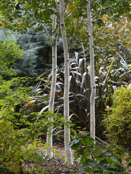 Betula utilis var. jacquemontii. Photo: Gerard O'Brien