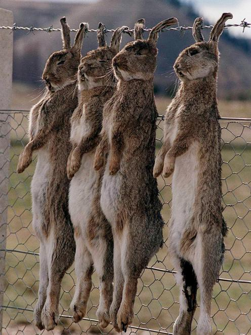 Dead rabbits are strung on a fence at Lowburn, near Cromwell, after the illegal release of rabbit...