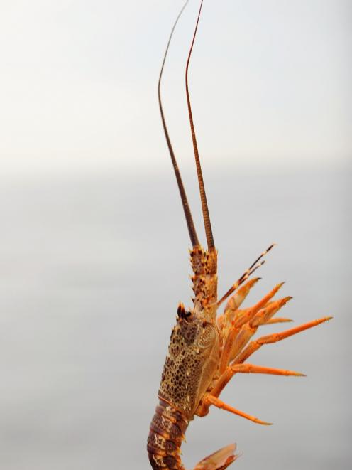 A legal ''short'' crayfish is returned to the ocean, off Otago's coast, in preference to heavier crayfish. Photo: Stephen Jaquiery