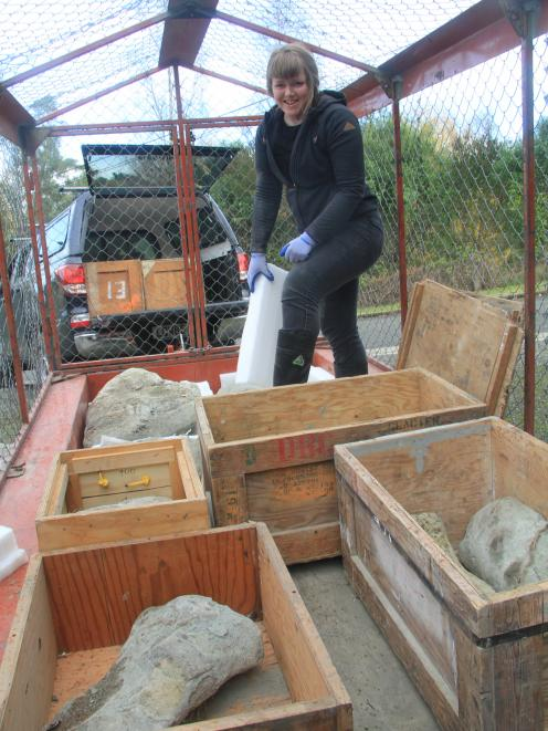 University of Otago department of geology paleontology lab technician Sophie White secures the 20...