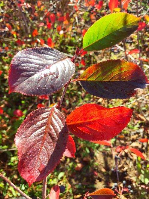 Aronia looks good from spring to autumn. Photo: Joy Bennett
