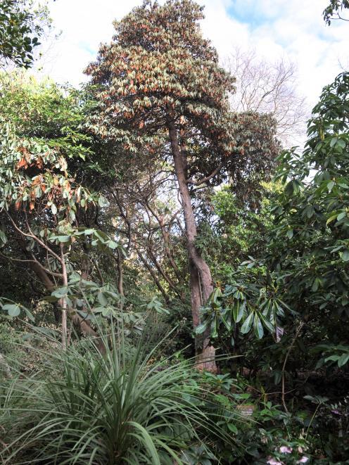 Rhododendron arboreum. Photo: Christine O'Connor