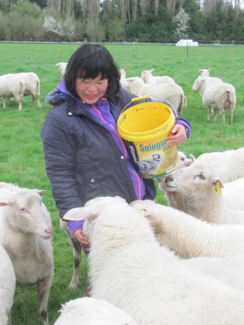 The sheep enjoy being hand-fed maize, a lolly-type treat which helps with handling. Photo: Toni Williams