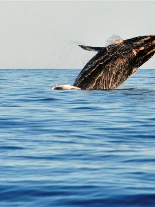 In this file photograph, a southern right whale breaches off Taiaroa Head, one of the popular...