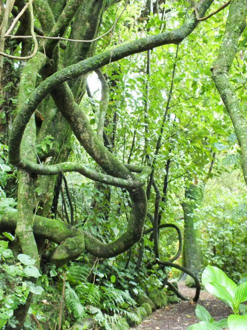 Trunk-like stems of a huge New Zealand passionfruit vine (passiflora tetrandra) on a Taranaki...