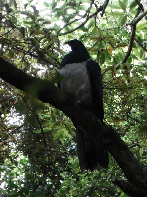 The just-released kereru perches in a tree while it gets its bearings. PHOTO: NIK HURRING