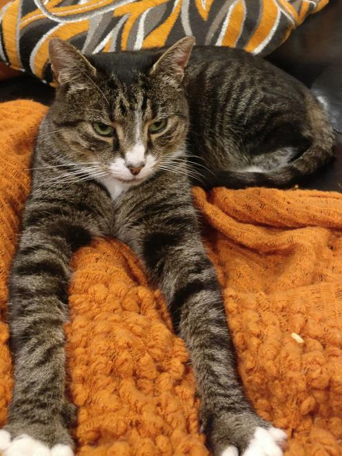 Charlie, a 3-year-old tabby, turned up at his Lake Hayes Estate home on Thursday night, having...