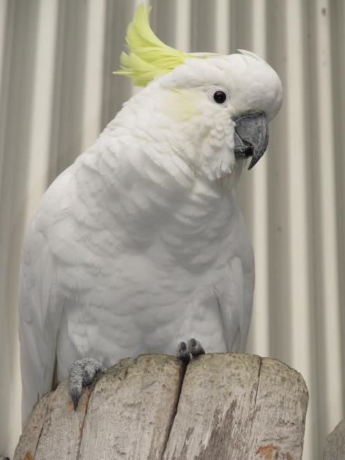 Sid, the Sulphur Crested Cockatoo, offers a stone to a member of the public at the Dunedin...