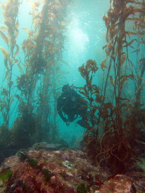 A diver swims through a kelp forest in Rakiura, Stewart Island. Photo: Chris Hepburn