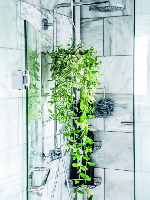 In Wendy Lau's Toronto home, a green Tradescantia zebrina finds the perfect spot in the bathroom...